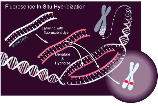 Tipos de Exámenes Citogenéticos